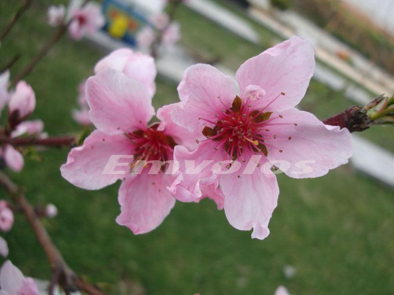 άνθη ροδακινιάς