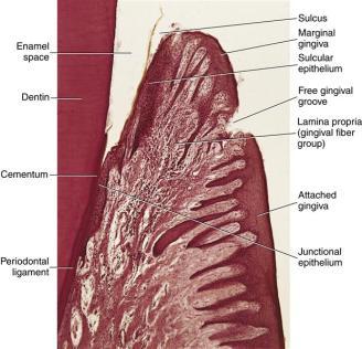 ttp://pocketdentistry.com/10-gingival-and-dentogingival-junctional-tissue/