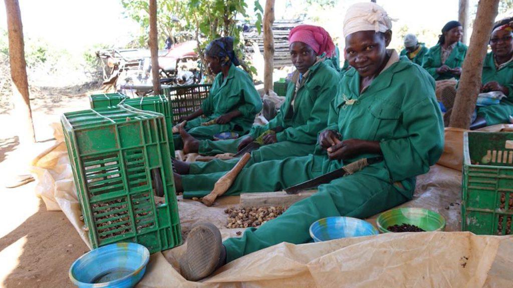 Uno de los mayores desafíos es sacar las semillas de las nueces del árbol de Mukau.
