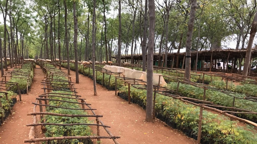 All the seedlings grow in the nursery until it is time for them to be planted out on the plantation or with a farmer. 170704