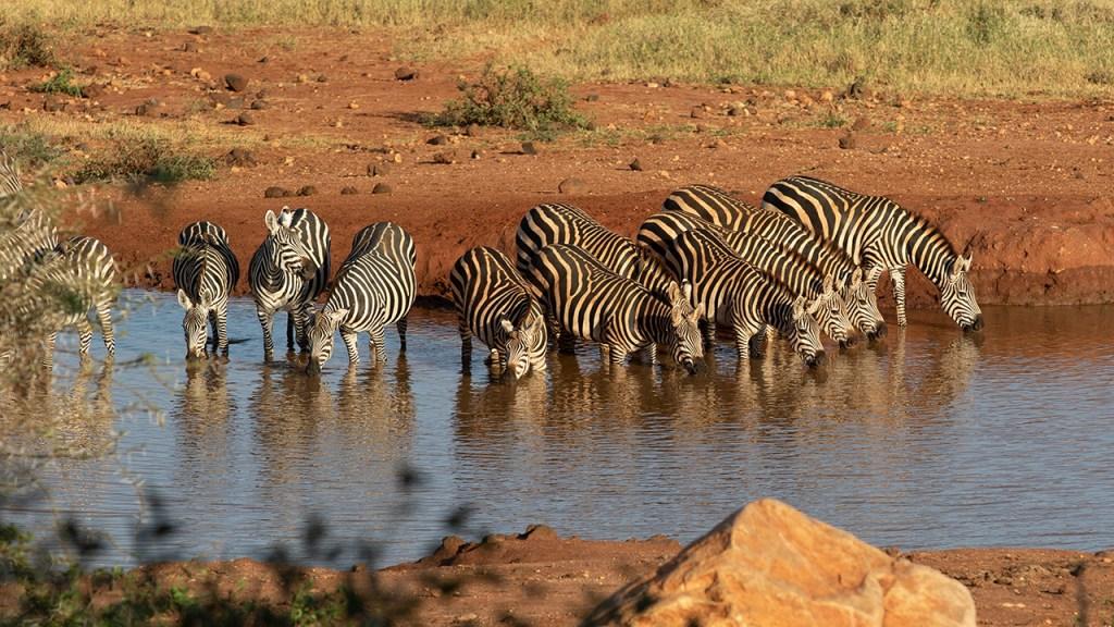 Zebras at the waterhole in Kilaguni.