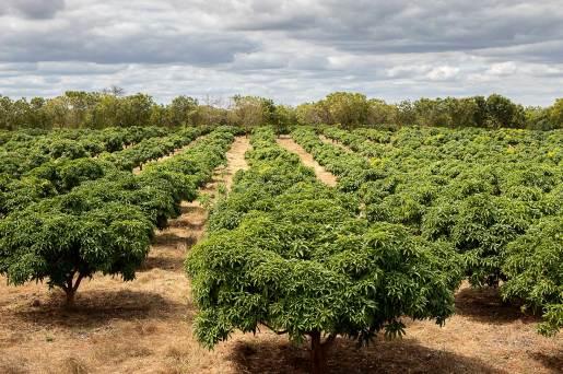 Mangoträd på testfarmen i Kibwezi