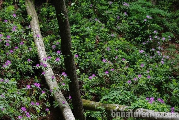 Plenty of flowering Rhododendron ponticum - photographed in May