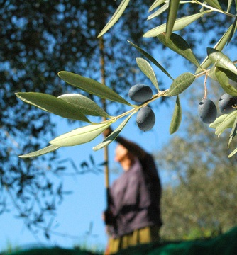 Olive oil, source of health, culture and wealth