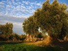 History of Olive Oil