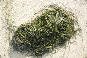 Bladderwrack to lose weight