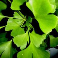 Properties of the Ginkgo biloba