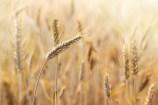 Recipes using Wheat