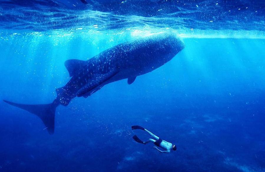Oslob, Cebu: Whale sharks can reach up to 43 feet long.