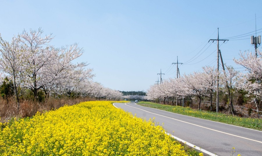 Best Time and Place to Catch Cherry Blossoms in Korea: Jeju's Cherry Blossom Festival