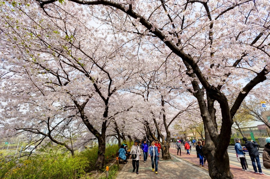 Best Time and Place to Catch Cherry Blossoms in Korea: Seoul's Yeouido Spring Flower Festival