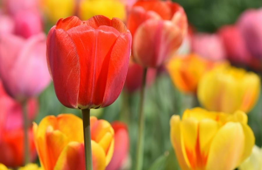 Tulips in Nogata