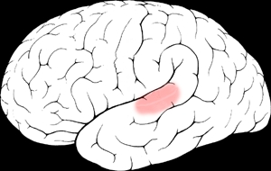The auditory cortex, shaded pink, in the human brain. Image credit: Jimhutchins via Wikimedia Commons.