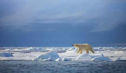 A big whitish bear walking on all fours across white sea ice in blue sea.