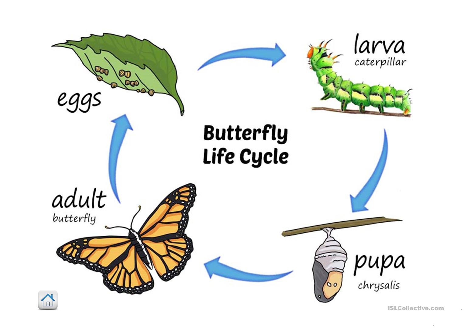 Life Cycle Of Butterfly