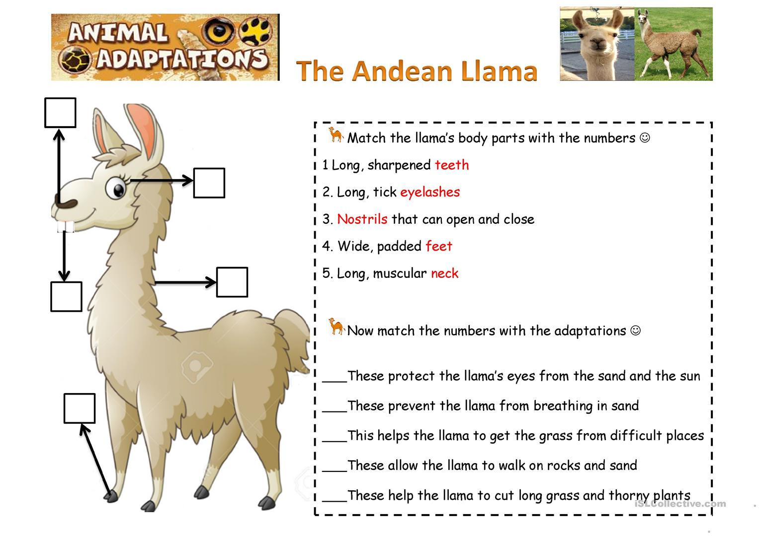 Animals Adapatations The Llamas