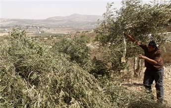 SETTLERS DESTROY 500 NEWLY PLANTED OLIVE TREES