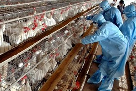 800 CHICKENS INFECTED WITH BIRD FLU CULLED IN GAZA