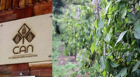 Stretching Pepper Plantation of PT Cinquer Agro Nusantara (CAN) in Bangka Belitung