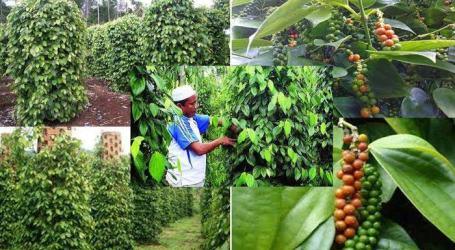Bangka Belitung, The Biggest Pepper Production in Indonesia