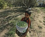 Gaza Export 44 Tons of Olive Oil to Gulf States