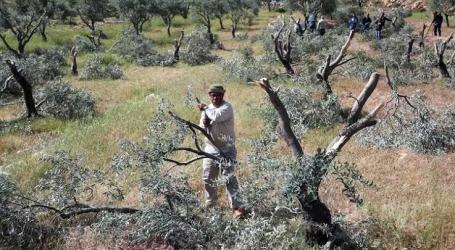 Israeli Settlers Uproot Olive Trees of Palestinian Farmers