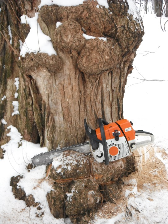 Obtaining the burl in the forest