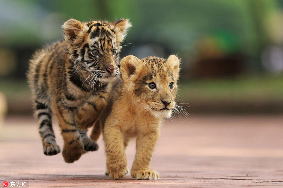 Heart Warming Cute Tiger And Lion Cubs Become Best Friends In Japanese Safari Park 2 People S Daily Online