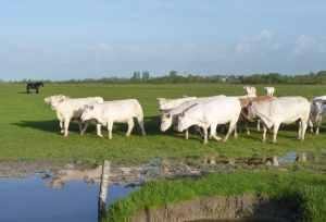 Mixed grazing (cattles and horses) encourages plant diversity © RNN St Denis du Payré