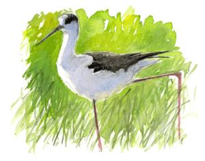 Illustration d'Échasse blanche - Benoit Perrotin