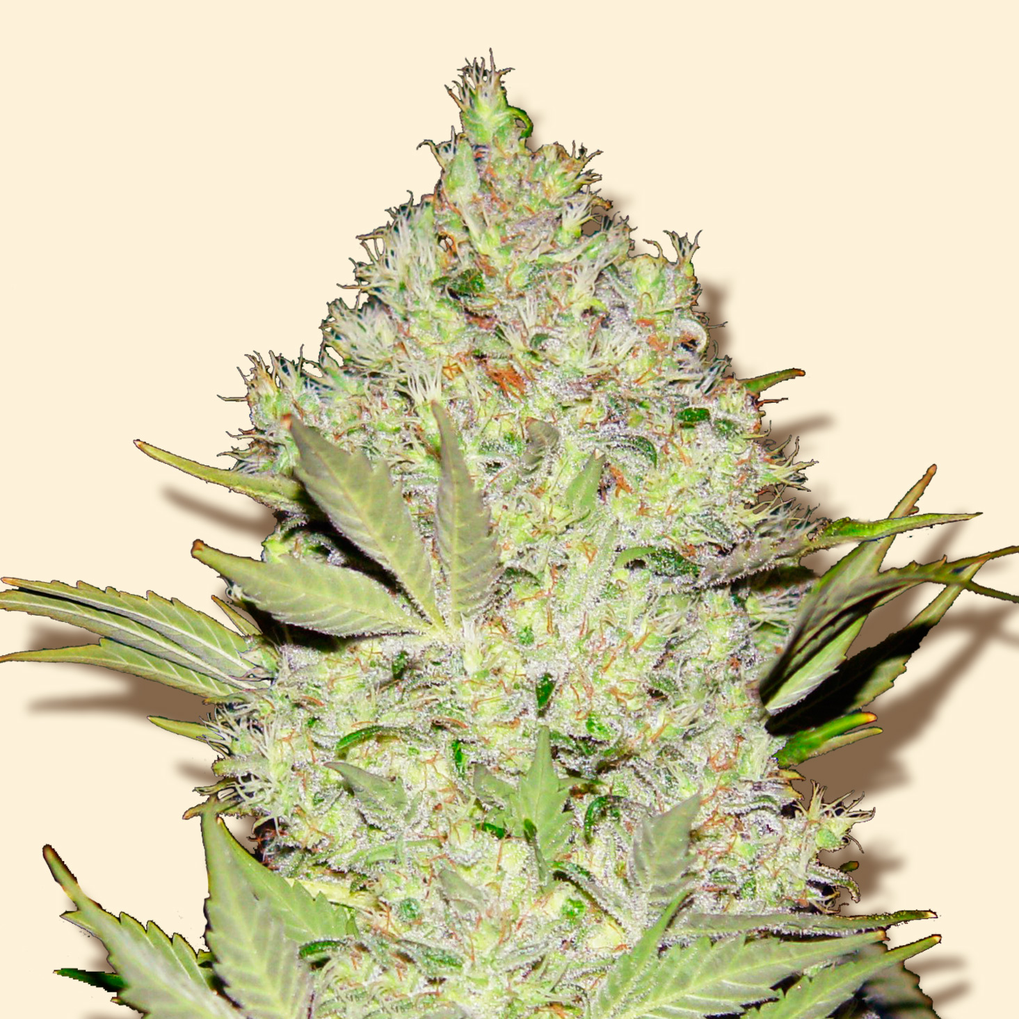 Cannabis Seeds Northern Lights