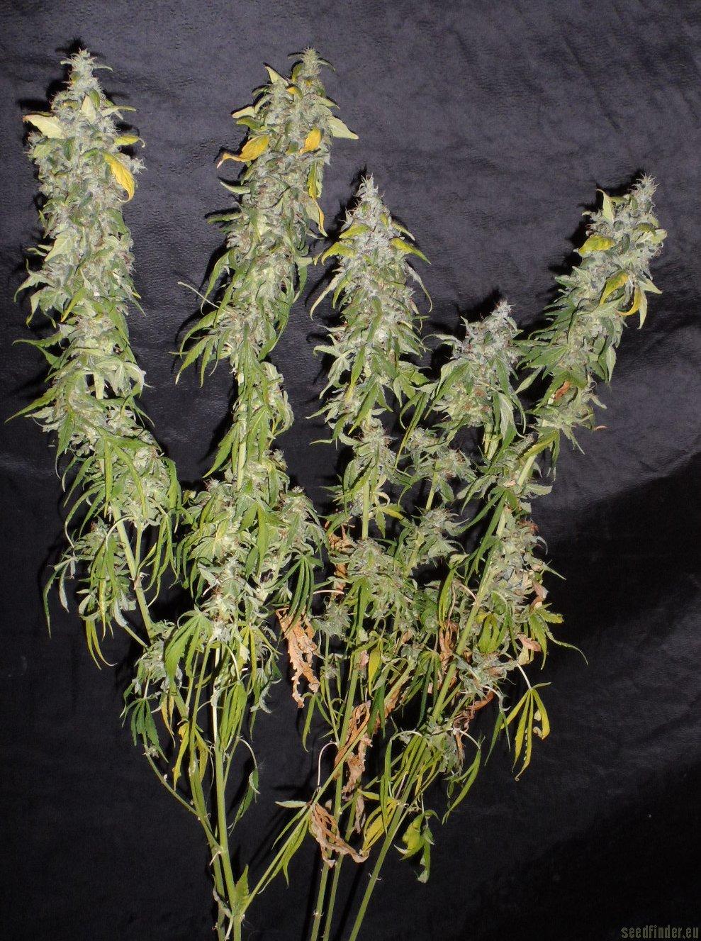 Northern Light Homegrown Fantaseeds Cannabis Strain