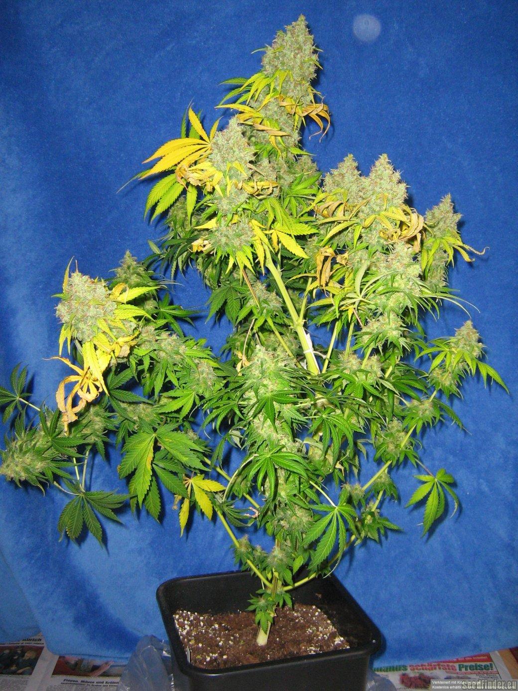 K2 Nirvana Seeds Cannabis Strain Info