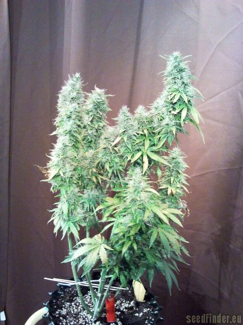 White Russian Autoflowering 1 By Serious Seeds