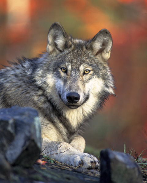 The cascade mountain wolf was a subspecies of the gray wolf, canis lupus, and was normally found in british columbia, oregon, and washington. Wolf Wikifur The Furry Encyclopedia