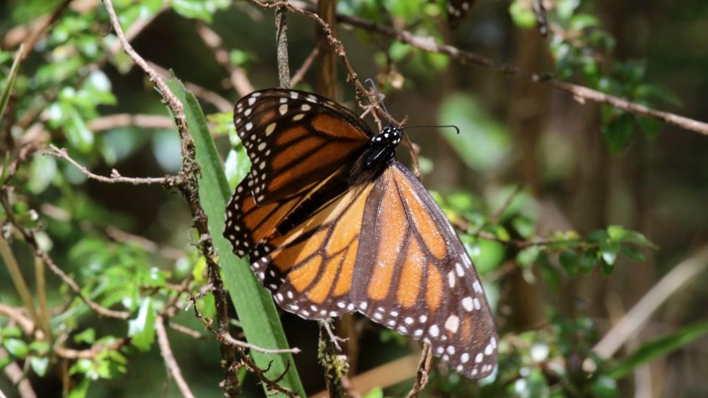 herbicida mariposas