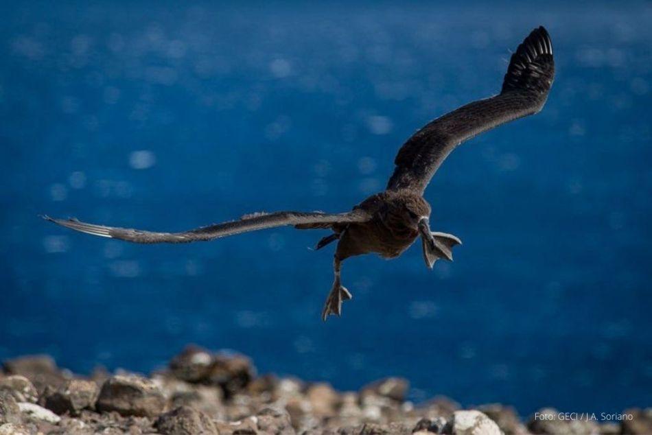 albatros patas negras