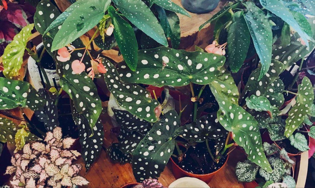 Imagen de Begonia Maculata