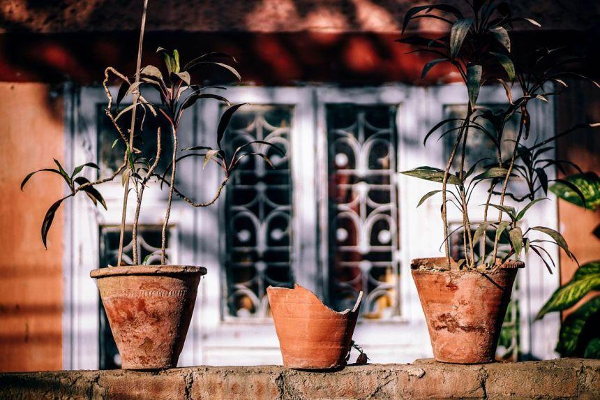 Plantas estropeadas en macetas