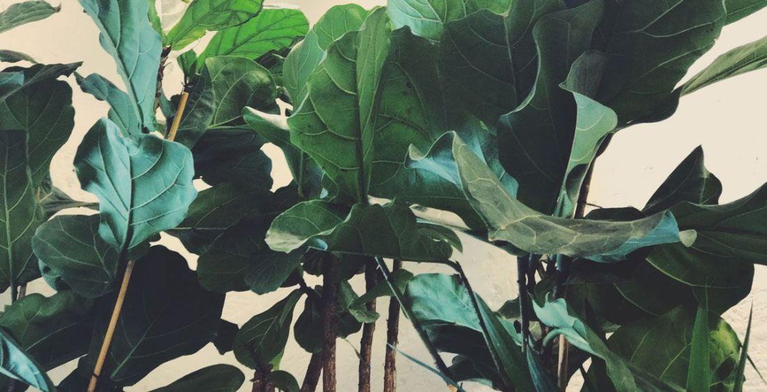 Hojas de Ficus Lyrata