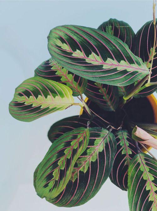 Imagen de hojas de Maranta Planta de interior