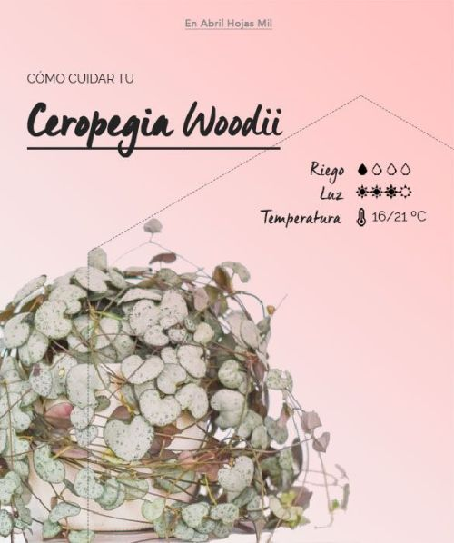 Ficha de cuidados Ceropegia Woodii