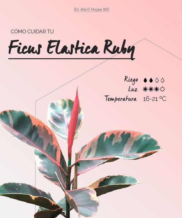 Ficus Elastica Ruby Ficha de cuidados