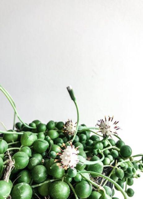 En Abril Hojas Mil Senecio Rowleyanus y sus flores