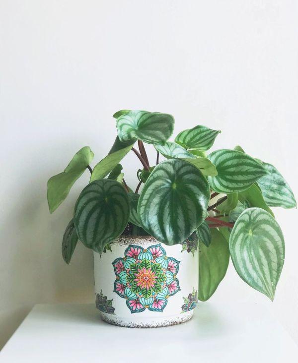 Maceta cerámica estampada con planta pepperomia watermelon