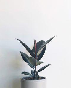 Ficus Planta de interior En Abril Hojas Mil