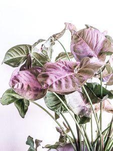 Planta de interior Syngonium En Abril Hojas Mil