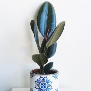 Ficus elastica en maceta cerámica
