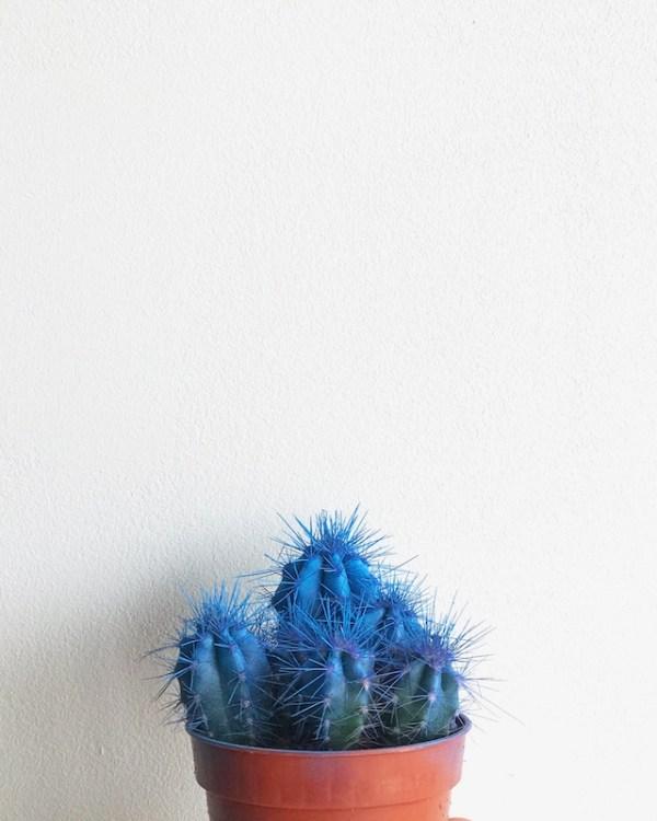 cactus de color azul