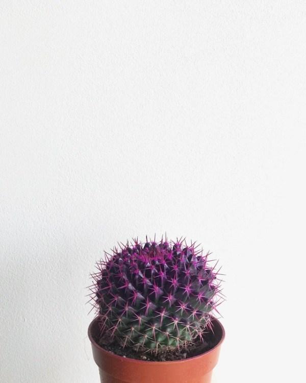 cactus de color morado